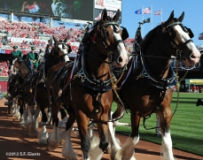 budweiser clydesdales, sf giants, san francisco giants, photo, 10/9/2012, nlds game 3,